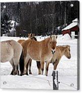 40104-5 Norwegian Horses Acrylic Print