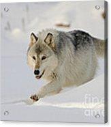 Wolf In Winter Acrylic Print