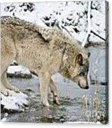 Timber Wolf Acrylic Print