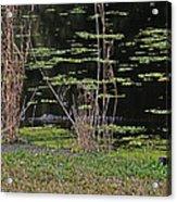 44- Alligator - Great Blue Heron Acrylic Print