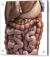 The Digestive System Acrylic Print