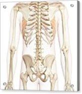 Human Back Muscles Acrylic Print
