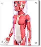 Human Muscular System Acrylic Print