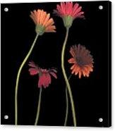 4daisies On Stems Acrylic Print