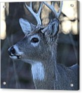 8 Point Buck Acrylic Print