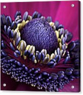Anemone Acrylic Print by Mark Johnson
