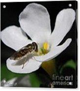 Bacopa Named Snowtopia Acrylic Print