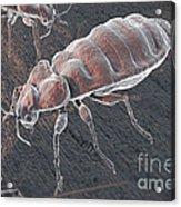 Bed Bugs Cimex Lectularius Acrylic Print
