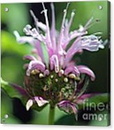 Bee Balm From The Panorama Mix Acrylic Print