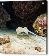 Bluespotted Stingray And Tropical Reef In The Red Sea. Acrylic Print