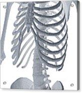 Bones Of The Torso Acrylic Print