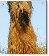 Briard Dog Acrylic Print