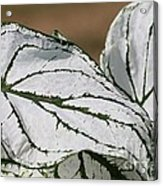 Caladium Named White Christmas Acrylic Print