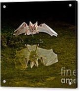 California Leaf-nosed Bat At Pond Acrylic Print