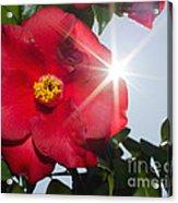 Camellia Flower Acrylic Print