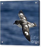 Cape Petrel Acrylic Print