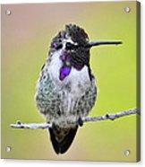 Costa's Hummingbird  Acrylic Print