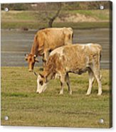Cow Outdoors Acrylic Print