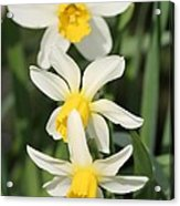 Cyclamineus Daffodil Named Jack Snipe Acrylic Print