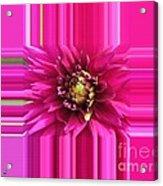 Dahlia Named Andreas Dahl Acrylic Print