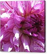 Dahlia Named Annette C Acrylic Print