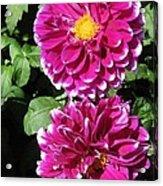 Dahlia Named Edinburgh Acrylic Print