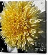 Dahlia Named Platinum Blonde Acrylic Print