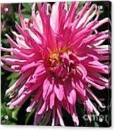 Dahlia Named Pretty In Pink Acrylic Print