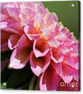 Dahlia Named Skipley Spot Of Gold Acrylic Print