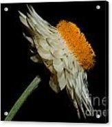 Daisy Flower Acrylic Print