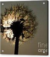 Dandelion Acrylic Print