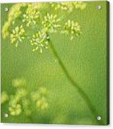 Dill Flower Acrylic Print