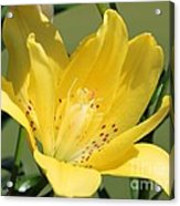 Double Asiatic Lily Named Fata Morgana Acrylic Print