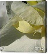 Dwarf Canna Lily Named Ermine Acrylic Print