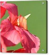 Dwarf Canna Lily Named Shining Pink Acrylic Print