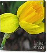 Dwarf Cyclamineus Daffodil Named Jet Fire Acrylic Print