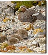 Falkland Steamerduck Acrylic Print