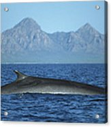 Fin Whale In Sea Of Cortez Acrylic Print