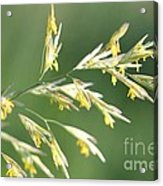 Flowering Brome Grass Acrylic Print