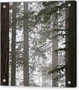 Foggy Coast Redwood Forest Acrylic Print