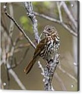 Fox Sparrow Acrylic Print