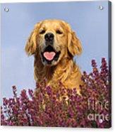 Golden Retriever Dog Acrylic Print