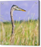Great Blue Heron On The Prairie Acrylic Print