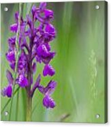 Green-winged Orchid Acrylic Print