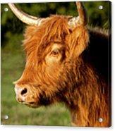 Highland Cow Acrylic Print by Brian Jannsen