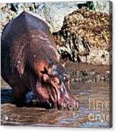 Hippopotamus In River. Serengeti. Tanzania Acrylic Print