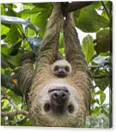 Hoffmanns Two-toed Sloth And Old Baby Acrylic Print