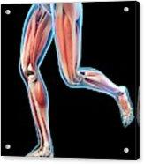 Human Leg Muscles Acrylic Print