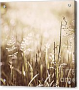 June Grass Flowering Acrylic Print