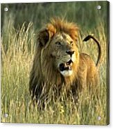 King Of The Savanna Acrylic Print